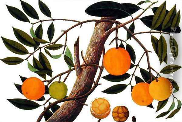 Booah Jebba, from 'Drawings of Plants from Malacca', c.1805-18 Oil Painting - Anonymous Artist