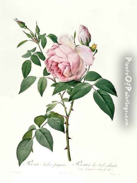 Rosa chinensis and Rosa gigantea, from Les Roses, 1817 Oil Painting - Pierre-Joseph Redoute