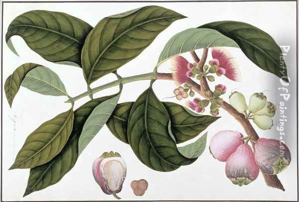 Eugenia or Jamboo Teloie poote, from 'Drawings of Plants from Malacca', c.1805-18 Oil Painting - Anonymous Artist