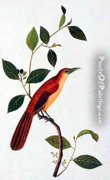 Boorong Seliah, from 'Drawings of Birds from Malacca', c.1805-18 Oil Painting - Anonymous Artist